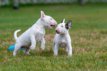 Two White Mini Bull Terrier Pu...