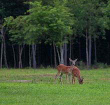 Whitetail Deer Grazing On A Field