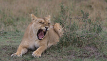 Lion Yawning And Showing Sharp Teeth In The Wild While Lying Down In The Masai Mara Kenya