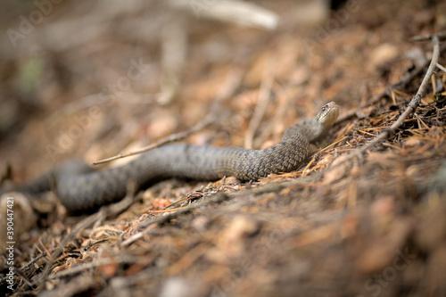 Obraz na plátně Die giftige Kreuzotter auf einem Waldboden