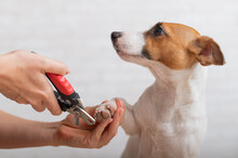 A Woman Cuts Her Claws On A Jack Russell Terrier. Frightened Dog In Grooming Procedure