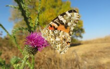 Painted Lady Butterfly On A Thistle Flower On Blue Sky Background