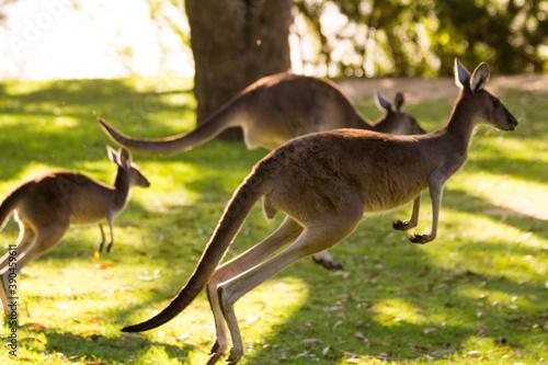 Group of beautiful kangaroos running and jumping on grass field Perth, Western Australia, Australia