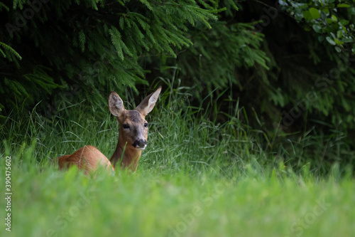 Valokuva Roe deer in forest, Capreolus capreolus. Wild roe deer in nature.