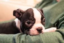 A Sleepy Boston Terrier Puppy ...
