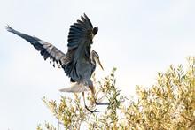 Great Blue Heron Spreads Huge ...
