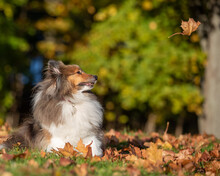Sheltie Looking At Falling Leaf