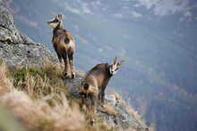 Baby Goats Of Tatra Chamois (Rupicapra Rupicapra Tatrica) On The Rocks In The Mountains. The Natural Environment Of The High Tatras.