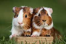 Two Lovely Guinea Pigs On The Lawn In Summer