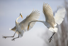 Two Great White Egret Fighting