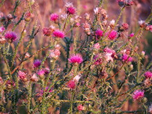 Bunches Of Thistle Flowers In ...