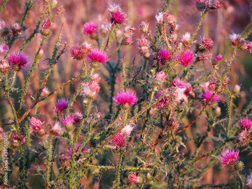 Fotografie, Obraz bunches of thistle flowers in the autumn sun, green thistles with pink flowers,