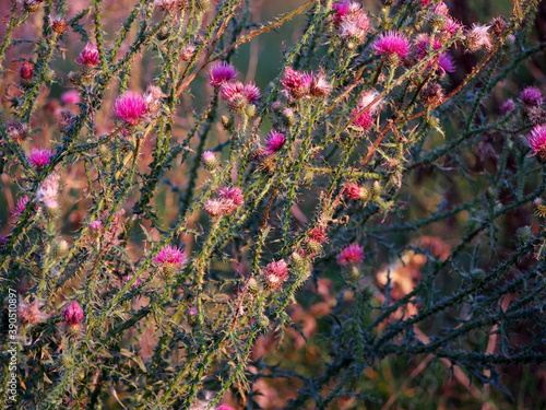 bunches of thistle flowers in the autumn sun, green thistles with pink flowers, Fototapet