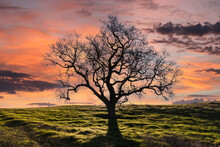 Leafless Oak Tree On Grassy Knoll With Sunset Sky.