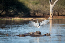 Grey Heron With Wings Open Landing On A Pod Of Hippo In Water In Kruger Park In South Africa