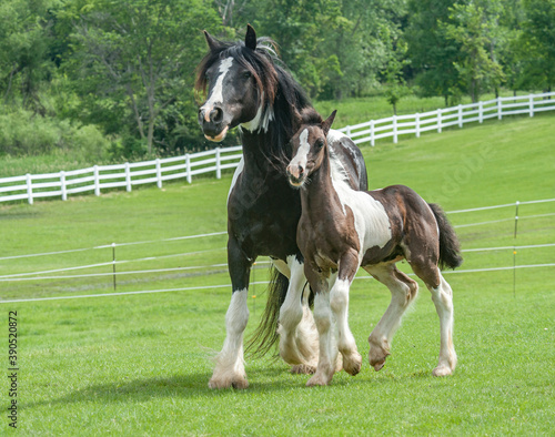 Papel de parede Gypy Vanner Horse mare with foal running at side