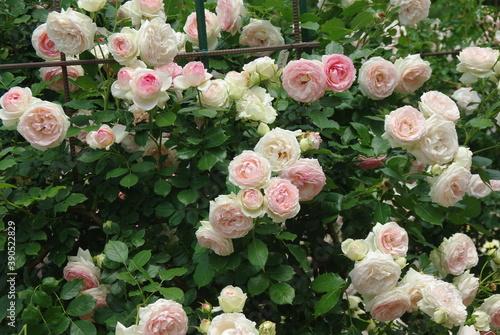 Fotografía Roses are in full bloom