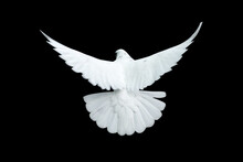 White Dove Flying With A Black...