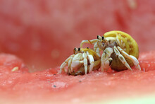 Two Hermit Crabs (Paguroidea S...