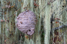 A Large Papery Nest Built By Wasps Hangs In A Tree Among Long Curtains Of Light Green Moss.