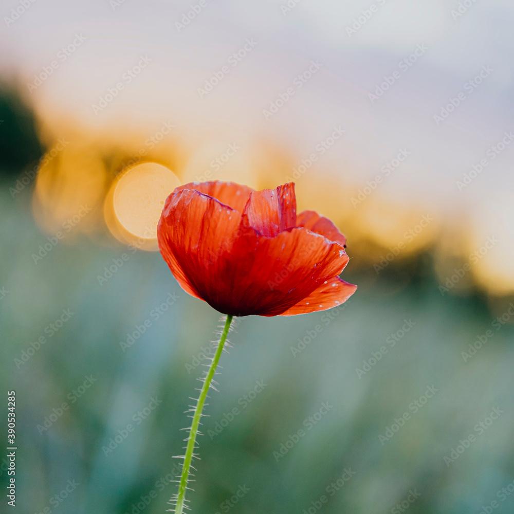 Fototapeta Red poppy flower at sunset in a summer field