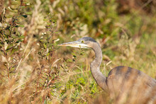 One Great Blue Heron Walking On Tall Grasses Covered Open Filed Searching For Its Next Meal On A Sunny Day
