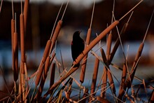 Red-winged Blackbird Male Disp...