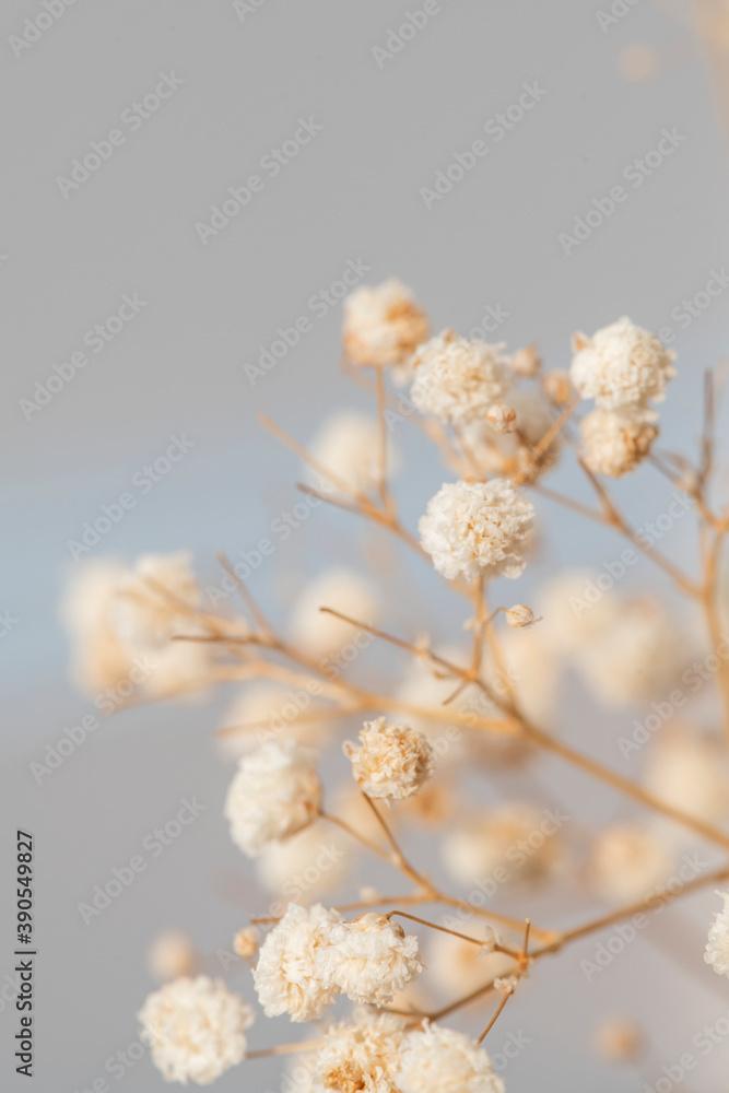 Fototapeta Dried gypsophila flowers macro shot