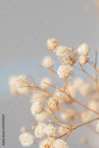 Dried gypsophila flowers macro shot