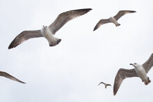 Closeup Of Seagulls In The Dra...