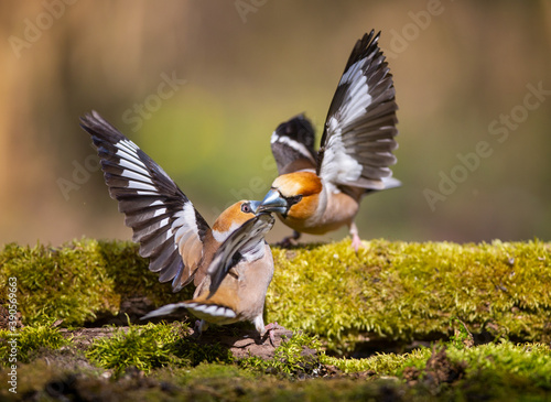 Fotografía The Battle of Hawfinches