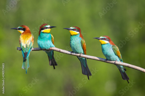 Carta da parati The bee-eaters
