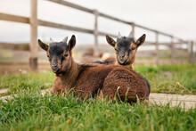 Two Brown Baby Goat Kids Sitti...