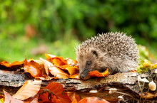 Wild, Native, European Hedgeho...