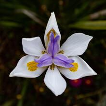 Dietes Grandiflora, Wild Iris In White, Purple And Yellow