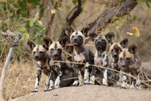 A Pack Of Wild Dog Puppies, Ly...