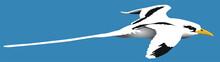 Oiseaux - Le Paille-en-queue (Phaethon Lepturus)