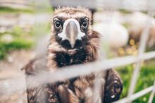 Close Up Cinereous Black Vultu...