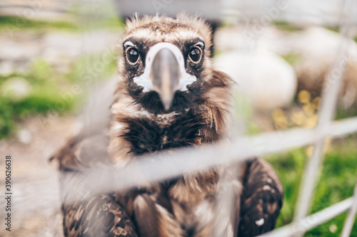 Photo Close up cinereous black vulture Aegypius monachus in captivity in the zoo throu