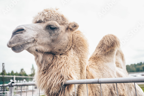 Fotografia Close up funny Bactrian camel in Karelia zoo