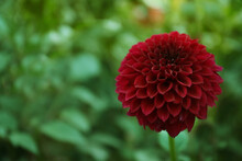 Beautiful Blooming Deep Red Dahlia Flower In Green Garden, Space For Text