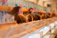 養鶏場のニワトリと卵