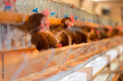 Tela 養鶏場のニワトリと卵
