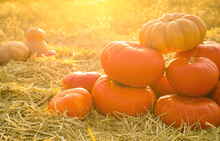 Ripe Orange Pumpkins Among Str...