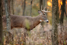 A White-tailed Buck, At The St...