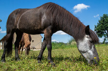 Two Icelandic Horses Grazing In Front Of Barn
