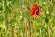 Poppy Flowers Bathed In Sunlig...