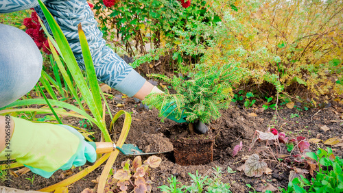 Planting Picea abies Nidiformis plant in open ground in a flower garden in the fall Wallpaper Mural