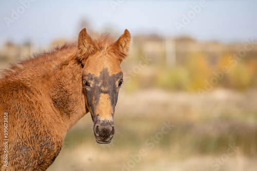 Vászonkép head of a brown foal looking at the camera against a blurred field