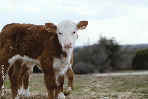 Fényképezés Hereford calf looking at camera close up in winter farm field.